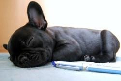 Black French Bulldog puppy fast asleep