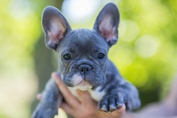 French Bulldog breeder holding the dog up in his hands