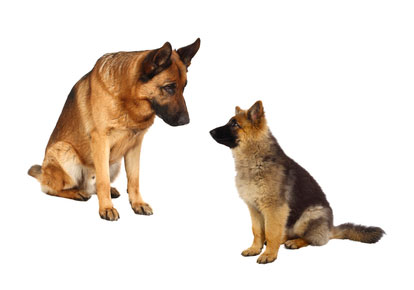 picture of german shepard - dog breeds