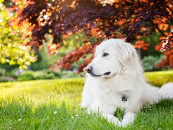 great pyrenees dog taking a little time off on a hot day in the shade