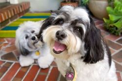 Havanese dogs posing for a picture.