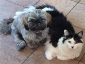 household shih tzu