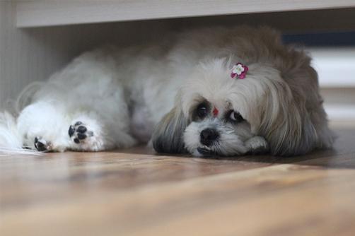 household shitzu - shih tzu hanging under the couch