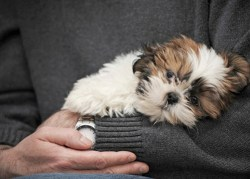 shih tzu puppy in owner's arms cuddling