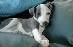 italian greyhound puppy relaxing on the couch