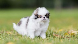 japanese chin puppy walking on grass looking for someone to play with