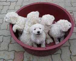 5 komondor puppies inside a bucket looking for their forever homes