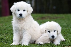Two kuvasz puppies chilling and waiting to get some attention