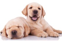 picture of labrador retriever