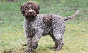 the handsome lagotto romagnolo