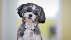 Learn about ways to own a Shih Tzu