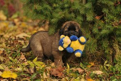 leonberger puppy carrying its toy in its mouth