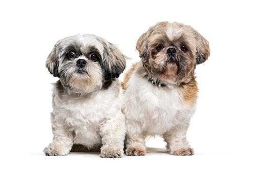 male Shih tzu and female Shih tzu