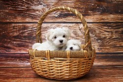 two tiny cute Maltese puppies inside of a basket