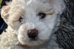 Adorable Maltese dog looking sad