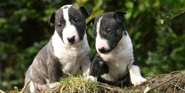 Two of the cutest miniature bull terrier puppies you've ever seen