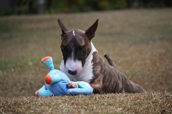 Miniature Bull Terrier relaxing and playing with his toy