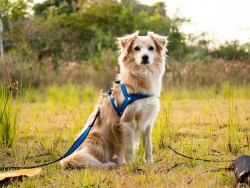 most comfortable dog harness: Image of dog looking comfortable in harness collar
