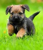 Border Terrier puppy running in a grass field