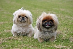 two Pekingese dogs standing and posing for the camera