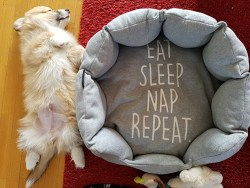 Adorable Pembroke Welsh Corgi puppy sleeping on its back next to its sleeping bes