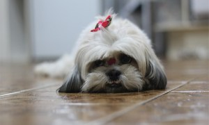 perfect dog - resting Shih Tzu just being lazy