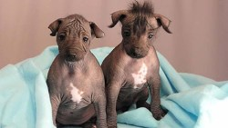 2 peruvian inca orchid puppies wrapped in a blanket