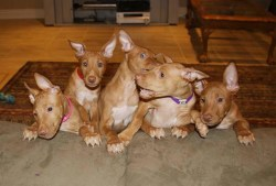 pharaoh hound puppies cuddled up together waiting for mom to come back
