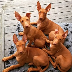 4 pharaoh hound dogs laying in the living room looking intently at the camera