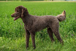 Poodle dog looking into the distance in a field and ready to go to work