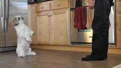 man training shih tzu dog in the kitchen