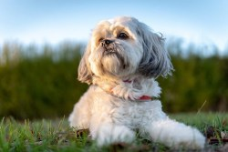 Shih Tzu dog laying down on a warm day relaxing