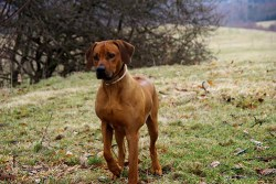 Rhodesian Ridgeback looking in the distance like he sees a lion