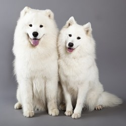 A male and female Samoyed sitting side by side like the perfect couple