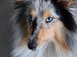 Shetland Sheepdog with beautiful eyes gazing at something