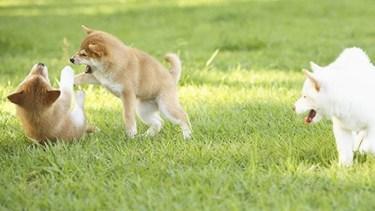 shiba inu puppies play fighting