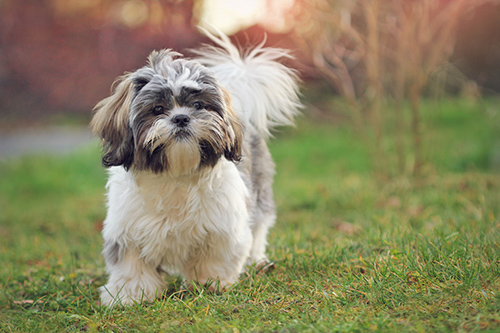 Shih Tzu trotting on the grass in the yard