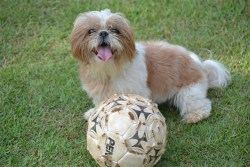 Shih Tzu exercise