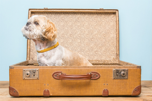 shih tzu heads west - little cute shih tzu in a suit case