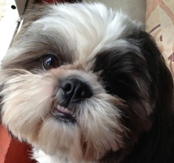 shih tzu health problems breathing