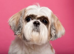 Male Shih Tzu dog looking handsome