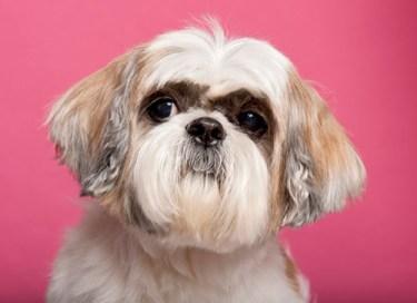 Male Shih Tzu dog looking handsome