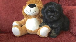 Shih Tzu poodle mix on the couch next to a teddy bear