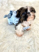 shih-tzu puppies for sale under 400 near me