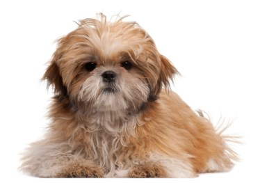 shih tzu breed information