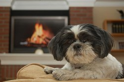 Shih Tzus cannot be left outdoors