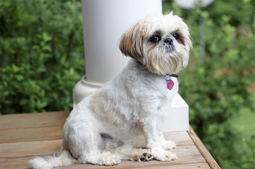 shitzu friendly - Cute Shih Tzu sitting on the porch