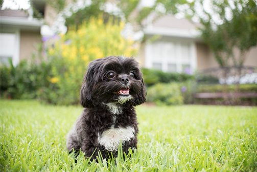 getting a shih tzu