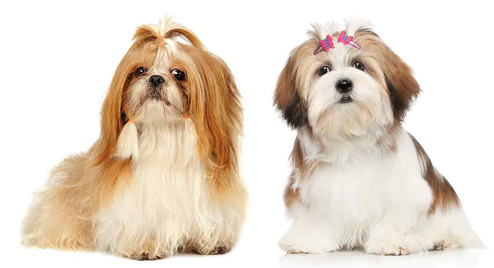 shih tzu and lhasa apso side by side
