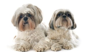 male or female shih tzu